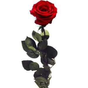 rosa-roja-preservada_02
